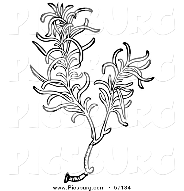Vector Clip Art of a Black and White Aromatic Culinary Herbal Rosemary Plant