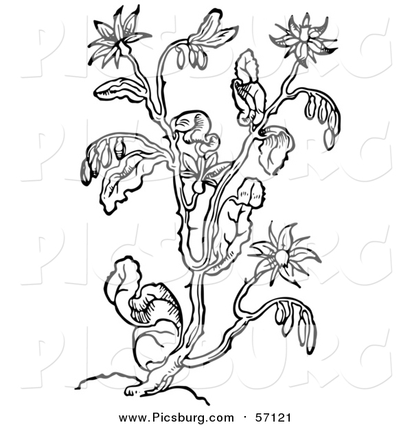 Vector Clip Art of a Black and White Herbal Borage Plant