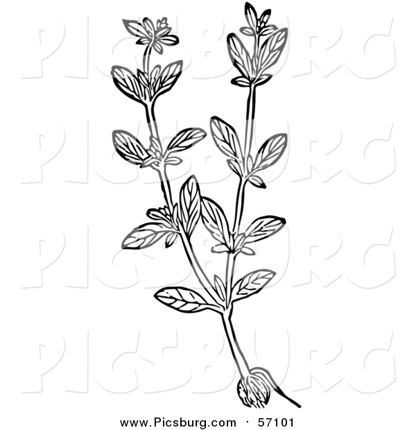 Vector Clip Art of a Black and White Herbal Marjoram Plant