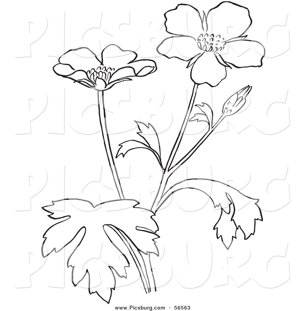 Flower Plant Line Drawing : Clip art of a coloring page buttercup flower plant by