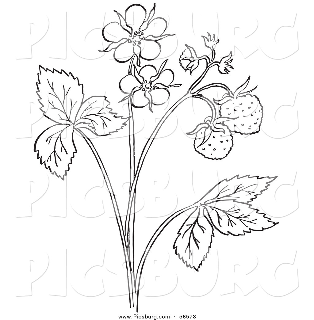 clip art of a coloring page outline of a strawberry plant with