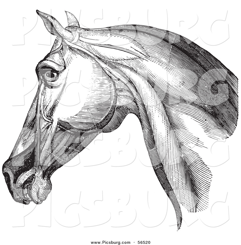 Clip Art Of A Horse Head Highlighting Neck Muscles Black And White Version 1 By Picsburg 56520