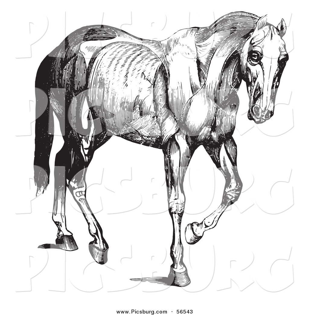 Clip Art Of A Old Fashioned Vintage Engraved Horse Anatomy Of Muscular Structure In Black And White By Picsburg 56543