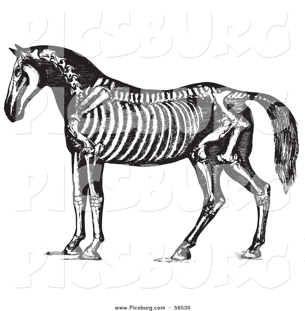 Clip Art Of An Old Fashioned Vintage Horse Anatomy Of The Skeleton